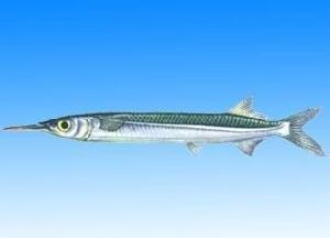 针嘴鱼如何饲养?针嘴鱼的饲养介绍
